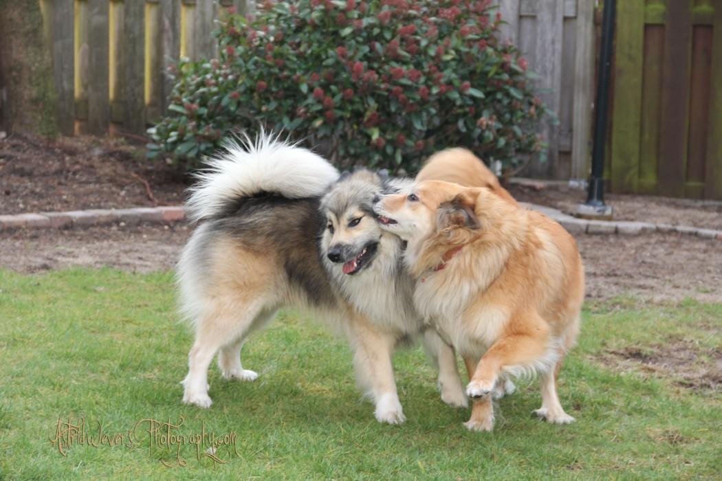 aesir-en-miss-bera-ijslandse-hond-icelandic-dog
