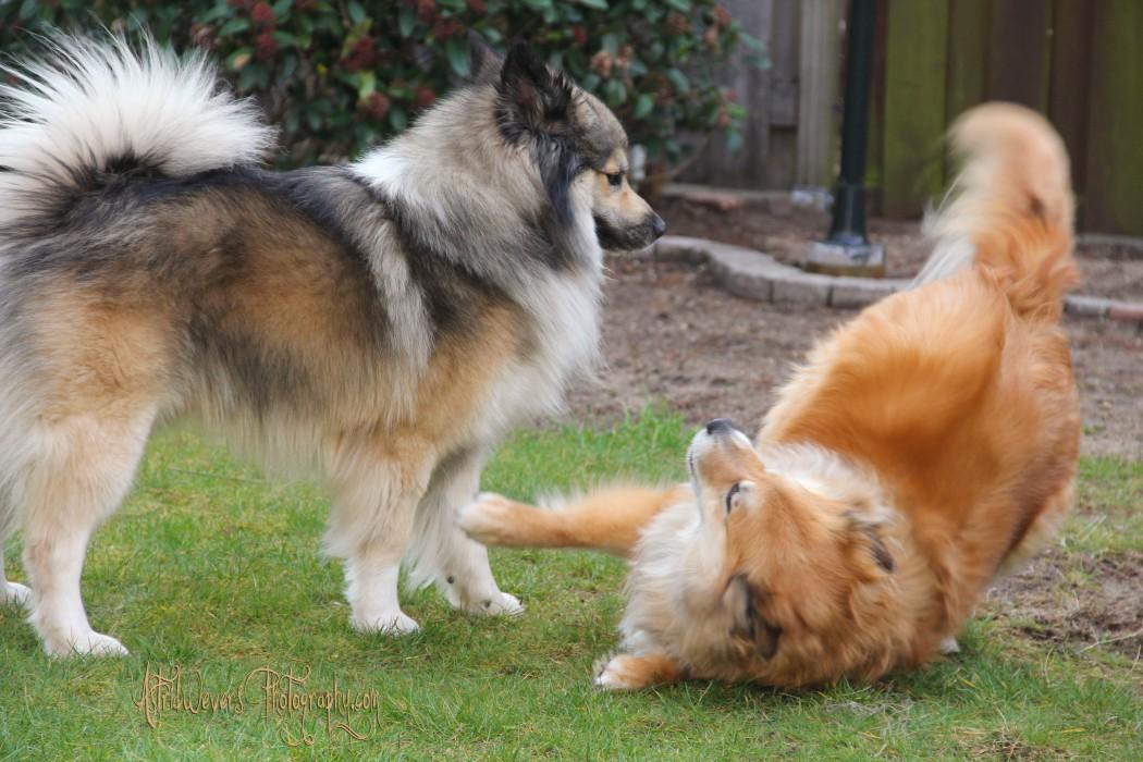 aesir-en-miss-bera-ijslandse-hond