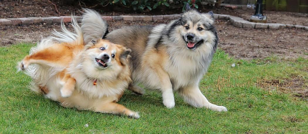 aesir-en-miss-bera-ijslandse-honden