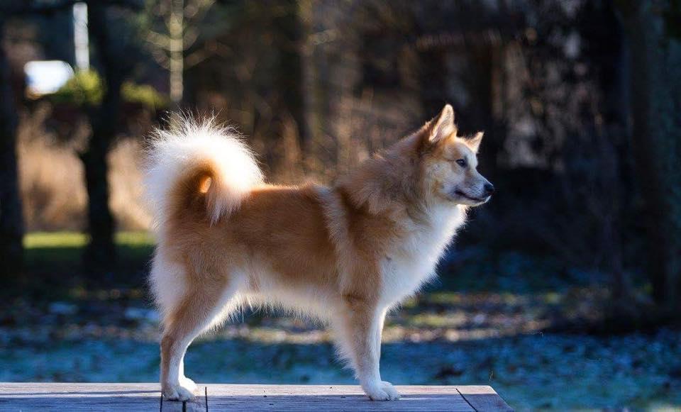 fjor-fra-fridarstodum-ijslandse-hond