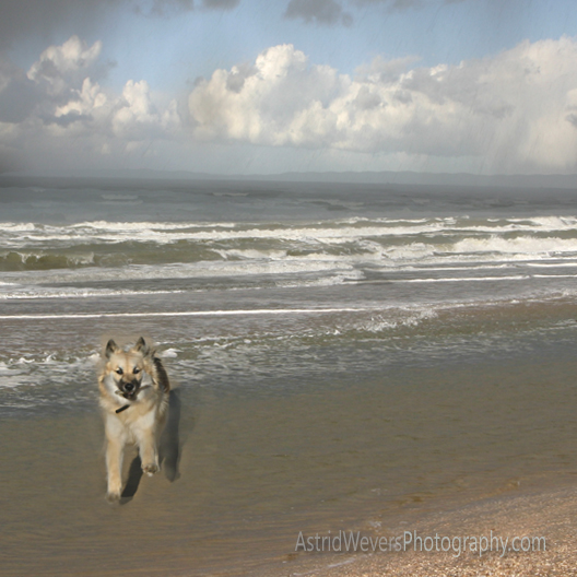 hkh-freyja-ii-ijslandse-hond