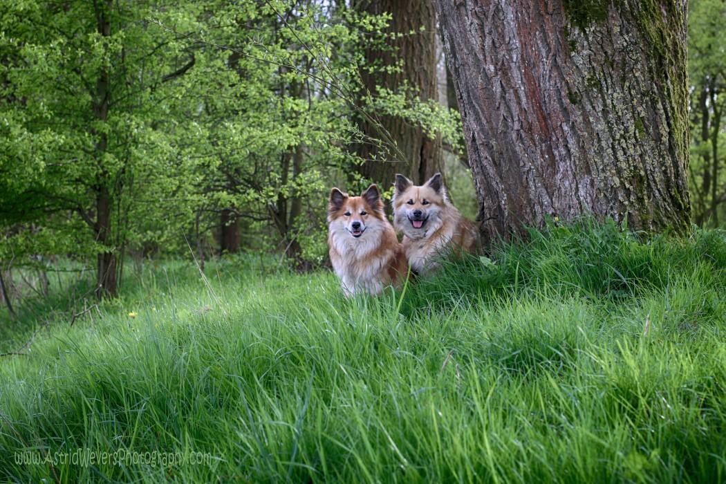 IJslandse honden Icelandic dogs Nederland islandhunde Islanninkoirat Islandshundarna
