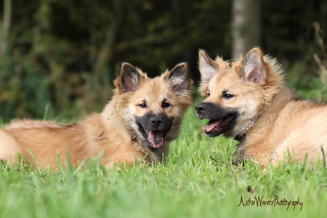 ijslandse-honden-icelandic-dogs