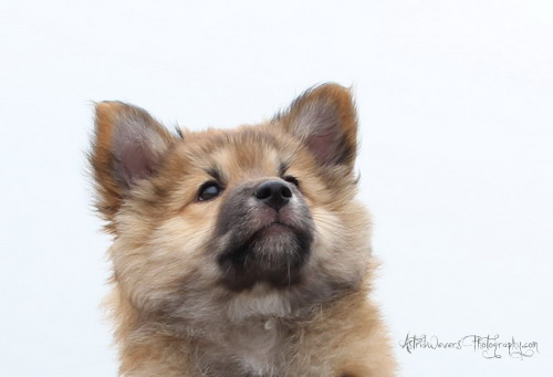 miss-bera-ijslandse-hond-pup