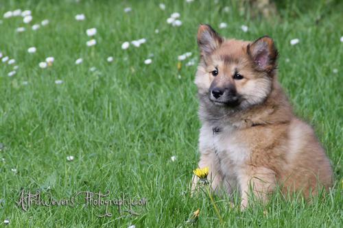 miss-bera-ijslandse-hond-puppy