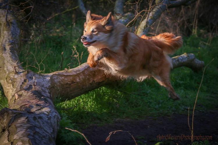Fra Halendi IJslandse honden 09