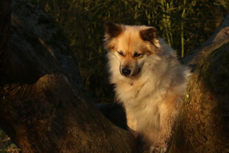 Fra Halendi IJslandse honden 10