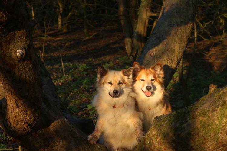Fra Halendi IJslandse honden 11