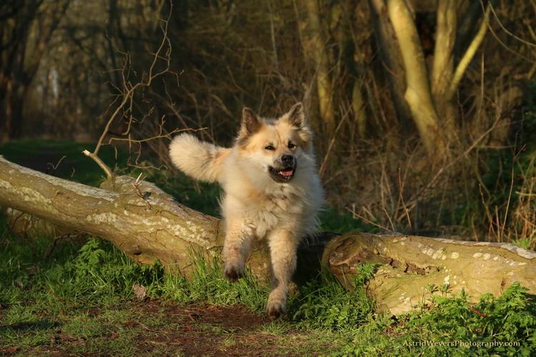 Fra Halendi IJslandse honden 12