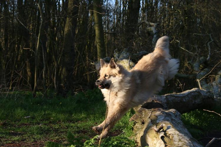 Fra Halendi IJslandse honden 13