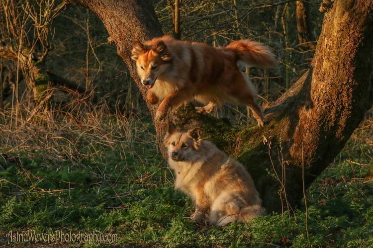Fra Halendi IJslandse honden 16
