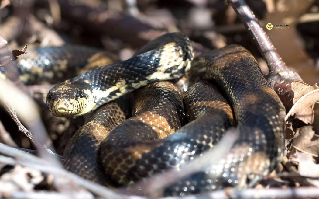 juvenile grass snake, ringslang, Andre Vondeling