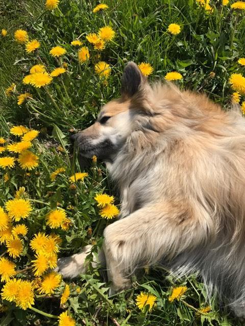 Happy Icelandic dog