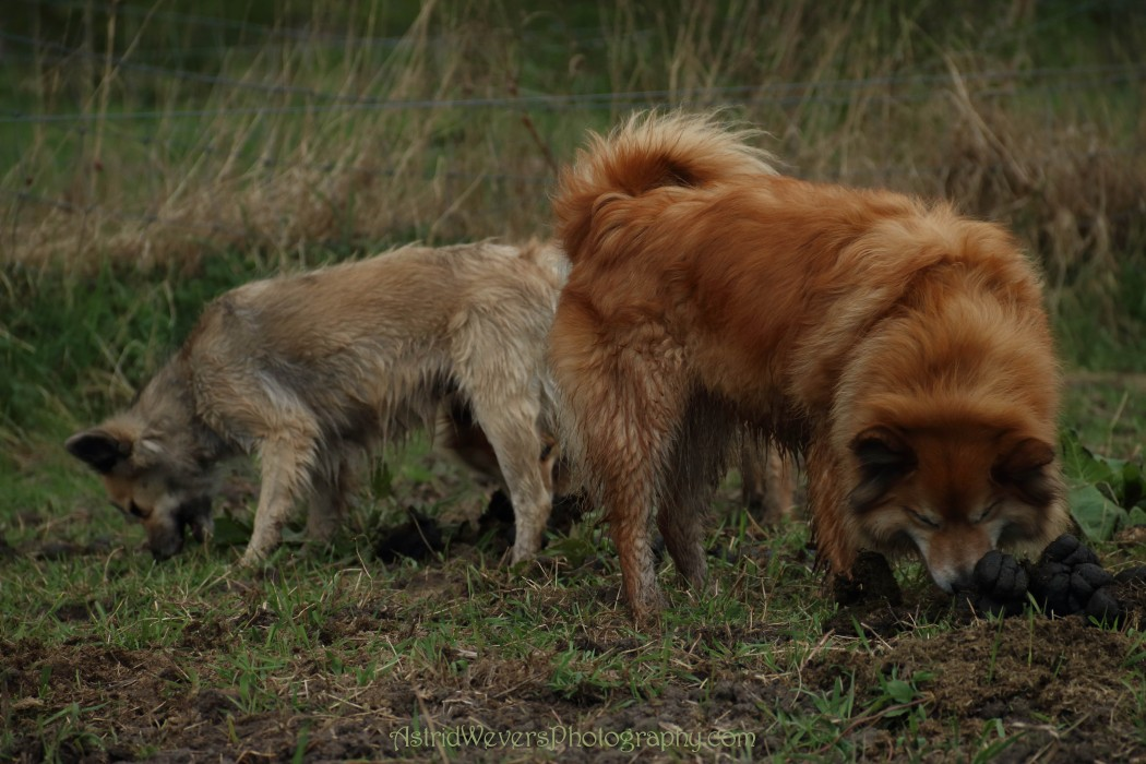 Icelandic dogs eating youknowwhat