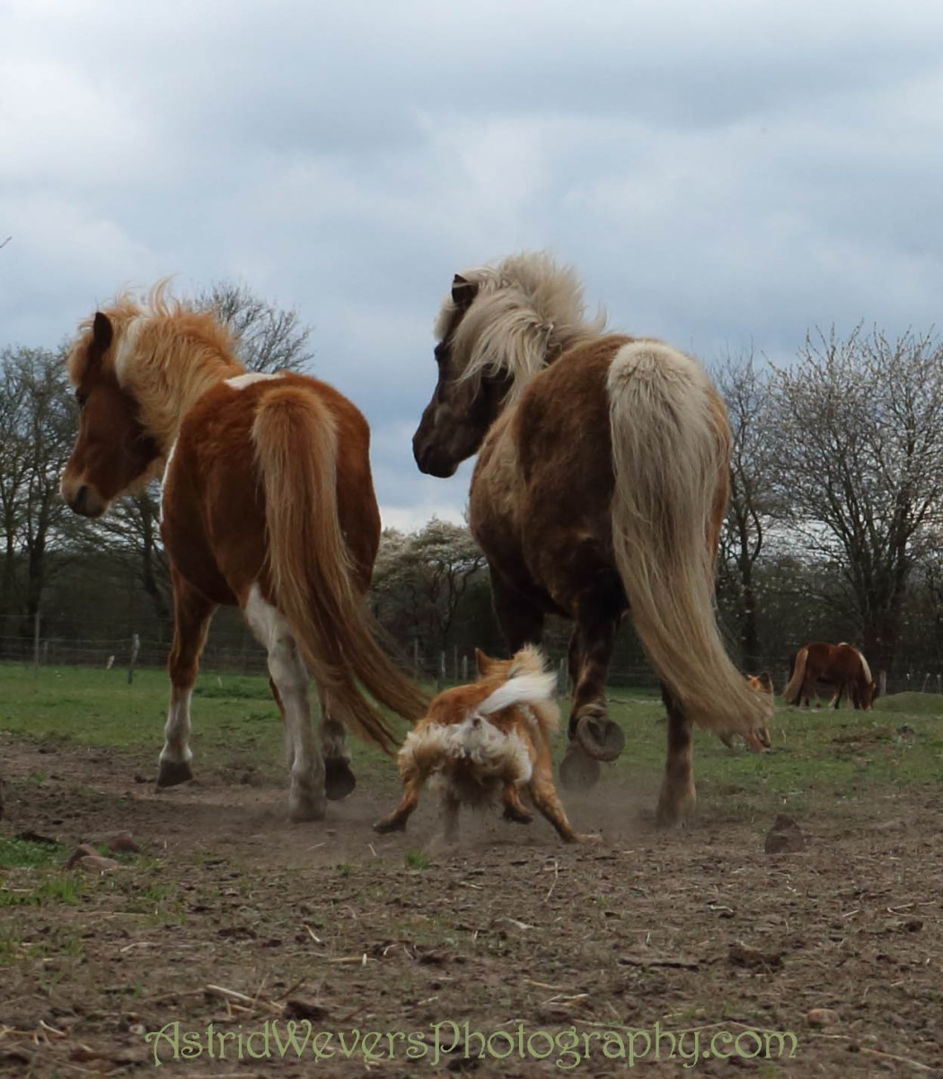Icelandic dogs running with Icelandic horses