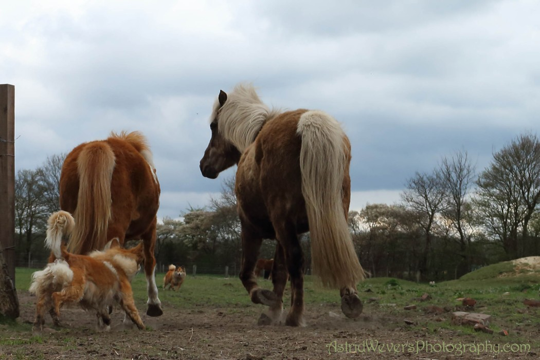 Icelandic dogs running with their Icelandic horses