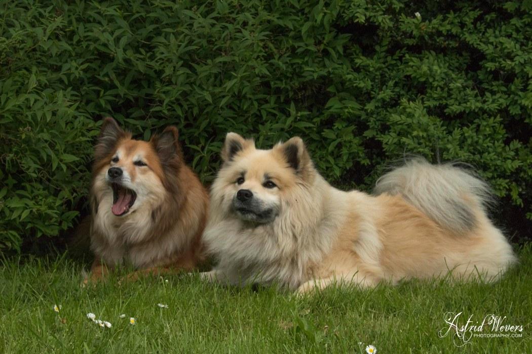 Gunnar en Miss Bera IJslandse hond Fra Halendi