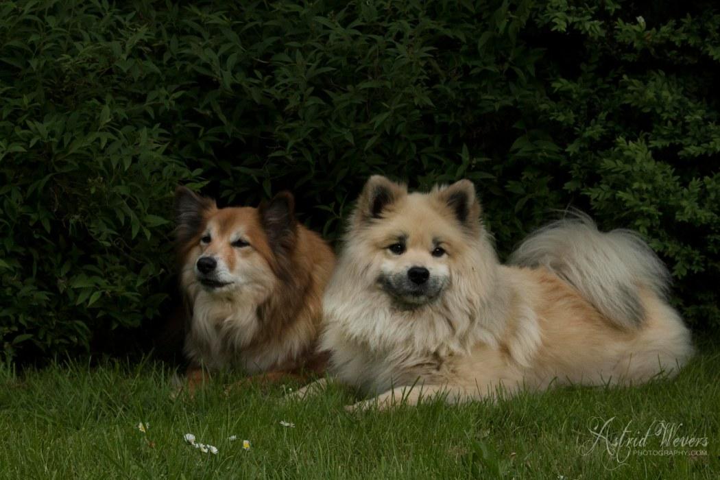 Gunnar en Miss Bera IJslandse hond