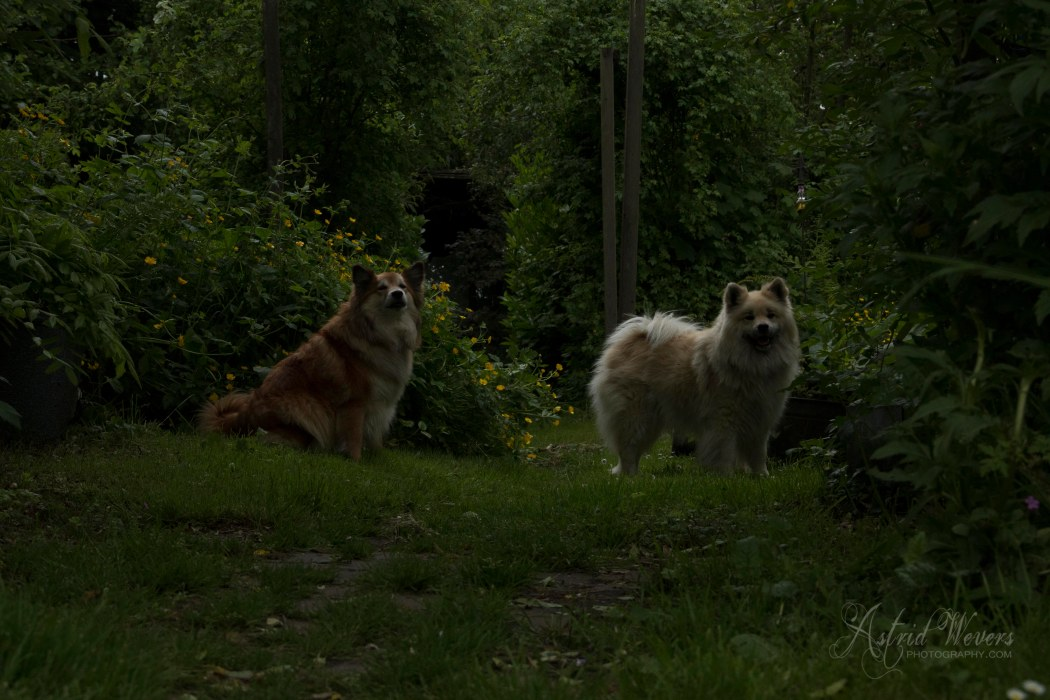 Gunnar en Miss Bera IJslandse honden