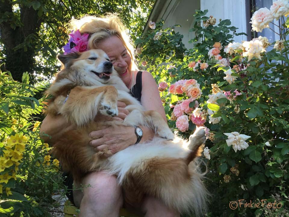 Sweet Miss Bera Icelandic sheepdog pregnant--