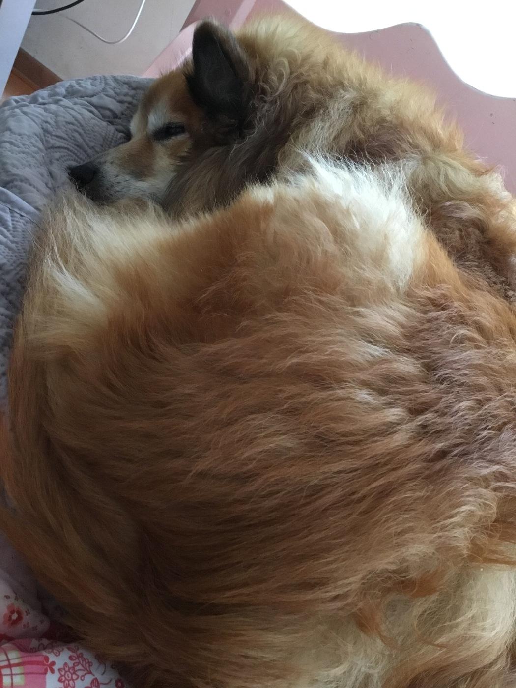 Miss Bera Ijslandse Honden zwanger