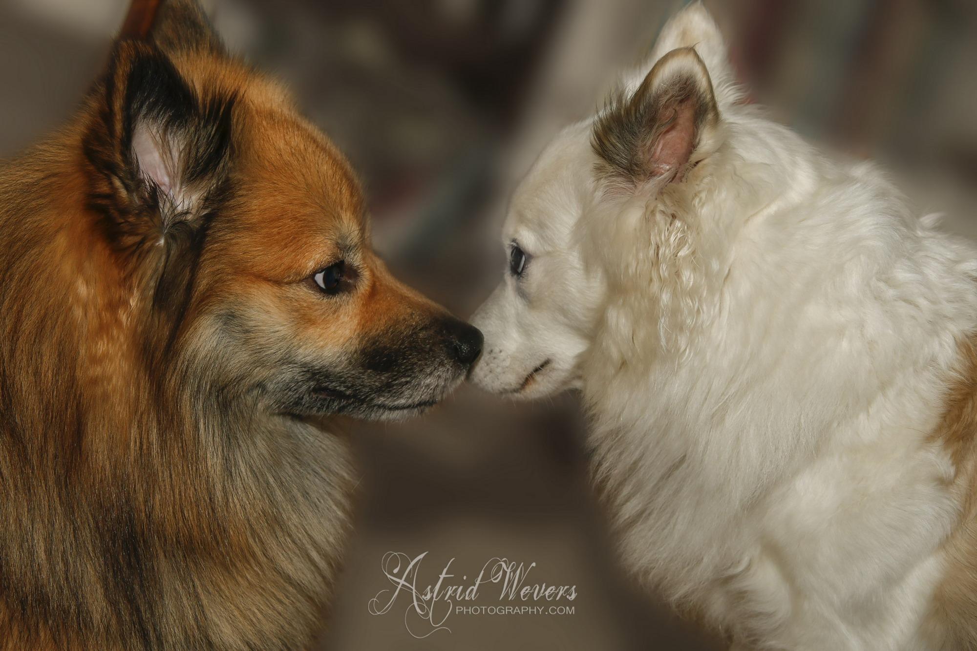 Icelandic dogs in love fb