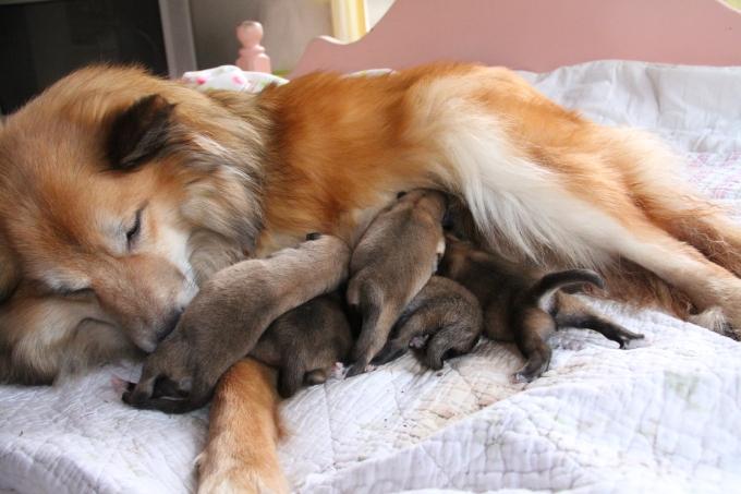 Mama Bera feeding her pups