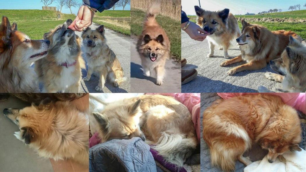 frá Hálendi Icelandic dogs IJslandse hond