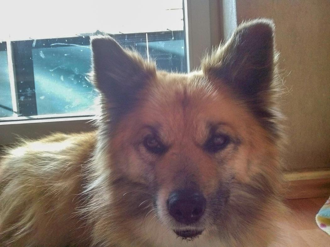 Yssie Icelandic dog