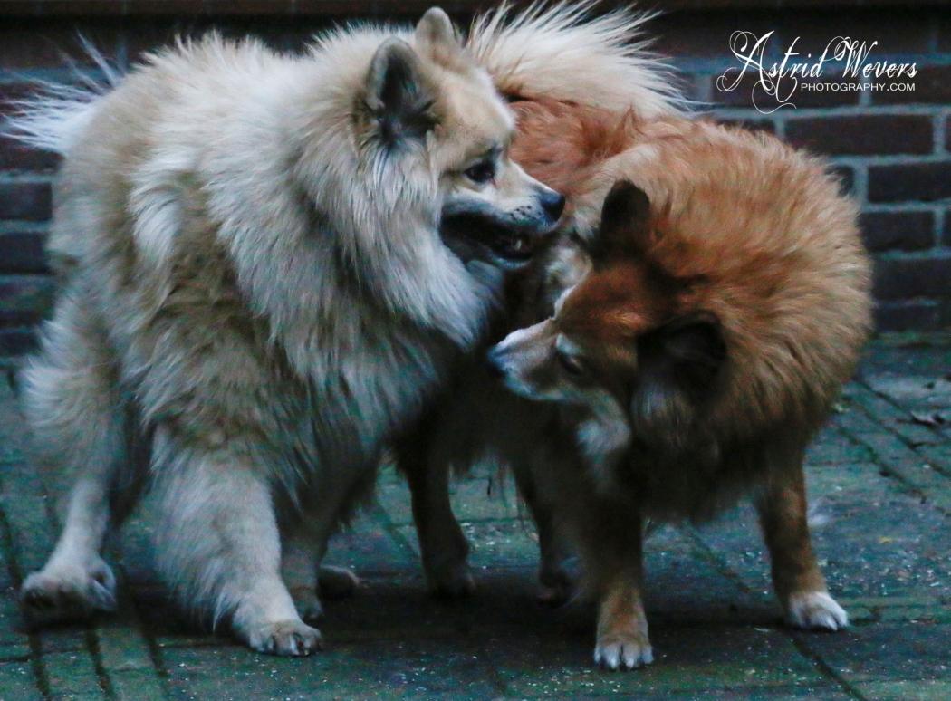 icelandic dog ijslandse hond islandhund