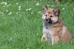 Bera Icelandic dog
