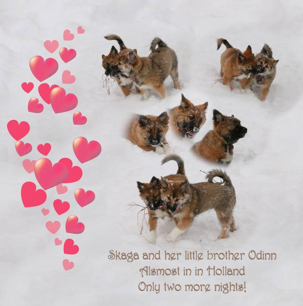 Frahalendi Skaga IJslandse hond