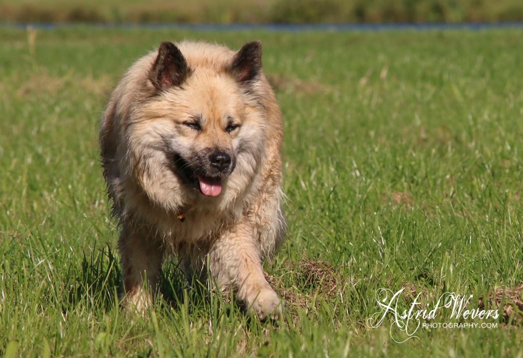 HKH Freyja II IJslandse hond