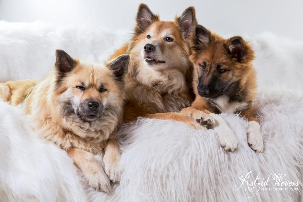 IJslandse Hond, Icelandic dog, islandhund