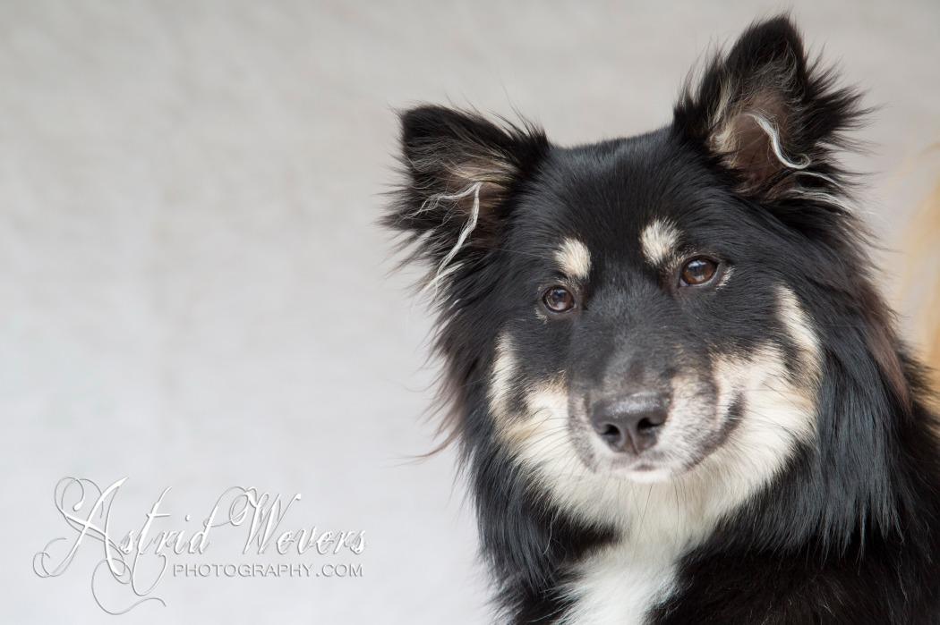 IJslandse hond icelandic dog islandhund