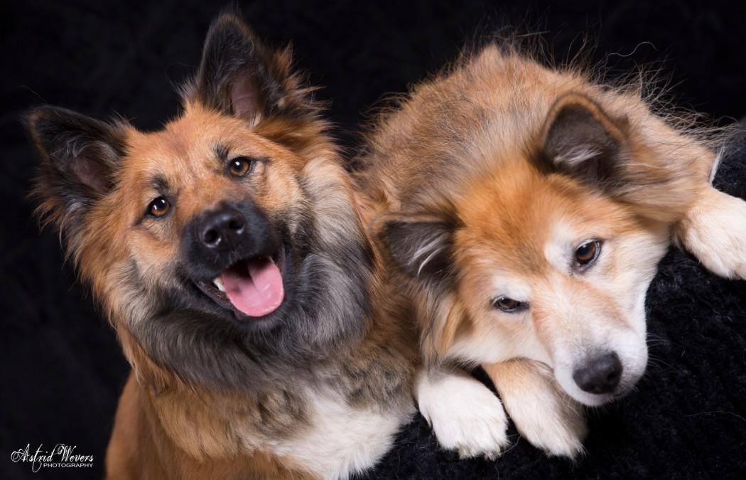 Icelandic dog  IJslandse hond