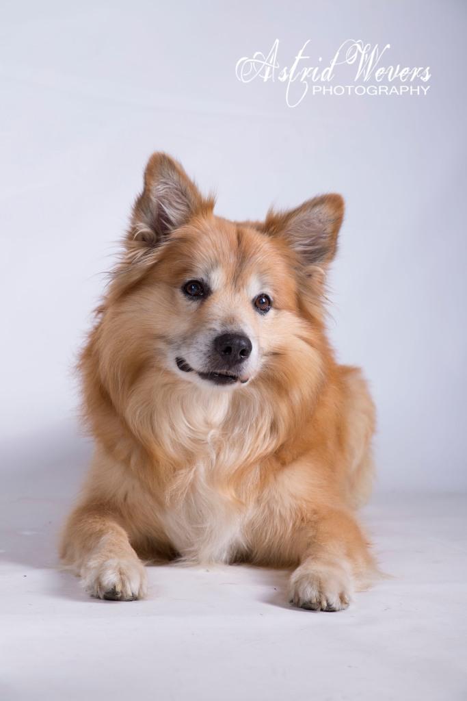 Loki frá Fridarstödum IJslandse hond  icelandic dog  islandhund