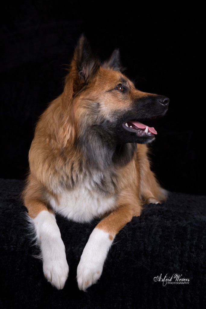 Skaga Leista IJslandse hond  icelandic dog  islandhund